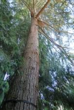 Vue en contre plongée sur un cedar